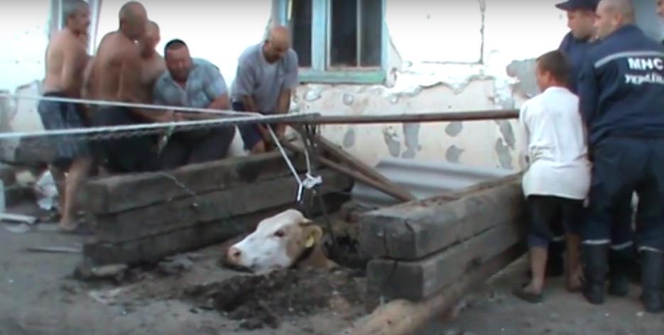 В 2013 году в Купянском районе в яму провалилась корова Майка. Её доставали всем селом Великая Шапковка. Спасатели придумали, как вызволить бурёнку. Это надо было видеть