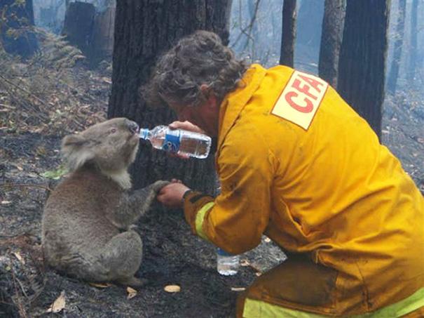 Представитель организации CFA поит коалу по кличке Сэм, Австралия